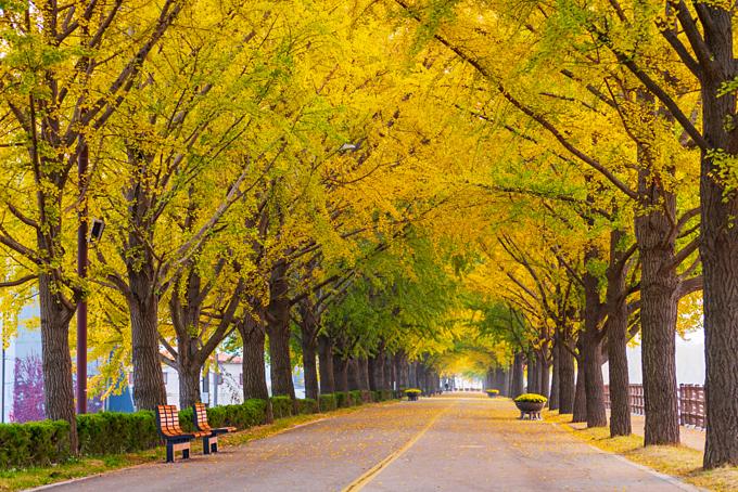 Những con đường rợp lá vàng của mùa thu Hàn Quốc là chất xúc tác tuyệt vời cho tình yêu thêm phần lãng mạn