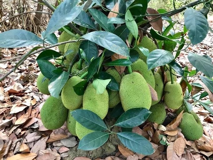 Kiều Trinh trồng nhiều loại cây ăn trái khác như: mít, sầu riêng, xoài, ổi... Cây nào cũng trĩu nặng quả, được cô thu hoạch đem về thành phố sử dụng và biếu bà con hàng xóm.
