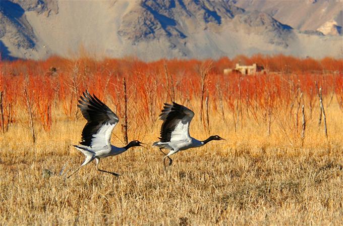 Hồ Vàng nằm ngay cạnh khu bảo tồn nơi có loài sếu cổ đen quý hiếm. Một tour du lịch ngắm chim sẽ được đưa vào hoạt động, để du khách vẫn nhìnđược trọn vẹn mà giảm thiểu tác động của con người tới môi trường sống của chúng.