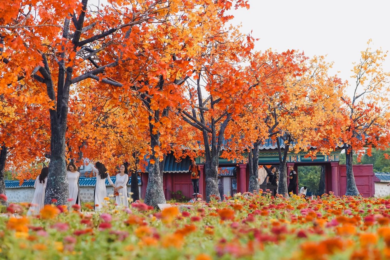 Hàng cây lá đỏ đẹp như Hàn Quốc