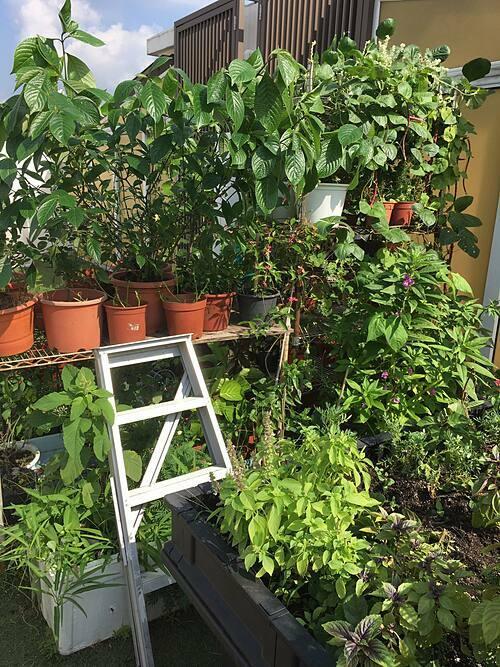 Joanna cho biết ở Singapore rất khó để mua được những loại rau củ lạ, độc đáo. Thậm chí, nếu đi tới 3 siêu thị thì họ vẫn chỉ bán cùng loại rau/thảo mộc. Bởi vậy, cô lựa chọn những giống cây không được bán nhiều trong siêu thị để trồng tại vườn nhà. Một số loại cây được cô tìm mua hạt giống từ nước ngoài.
