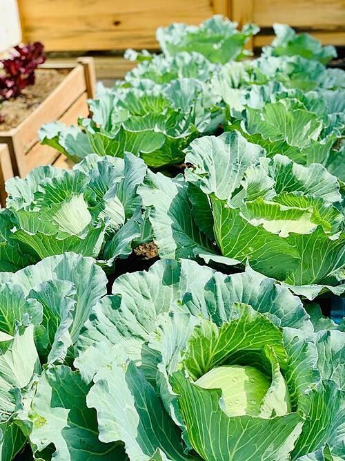 Thời tiết mát mẻ ở Sơn La thuận lợi để trồng bắp cải và các loại rau đặc trưng của mùa đông miền Bắc.