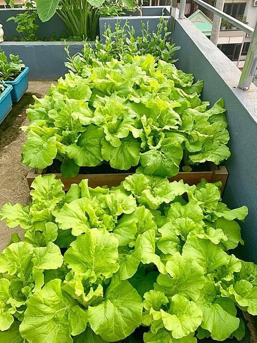 Chị sử dụng chậu gỗ để trồng rau và quy hoạch khu vườn gọn gàng, ngăn nắp.