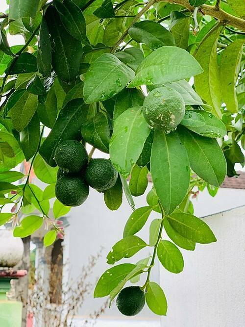 Chị Thanh Quý thường sử dụng phân hữu cơ để bón cho cây trồng như phân gà hoặc phân làm từ rác thải nhà bếp (vỏ chuối)...