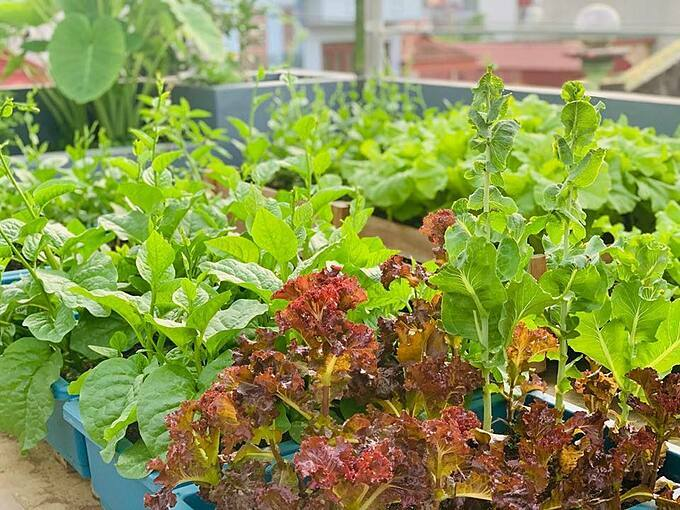 Chị Thanh Quý quyết định làm vườn, tự trồng rau củ vì muốn bảo vệ sức khỏe của cả gia đình và cho các con cơ hội tập làm nông dân cũng như thêm yêu thiên nhiên, cây cối.