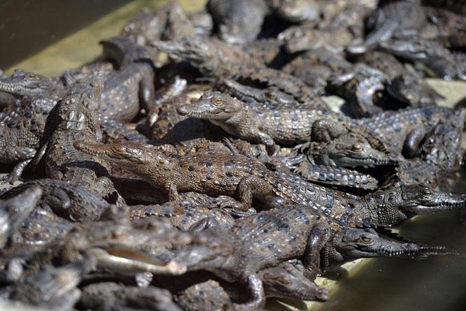 Tỷ phú Belo sở hữu hai trang trại nuôi 23.000 con cá sấu. Ảnh: Bloomberg.