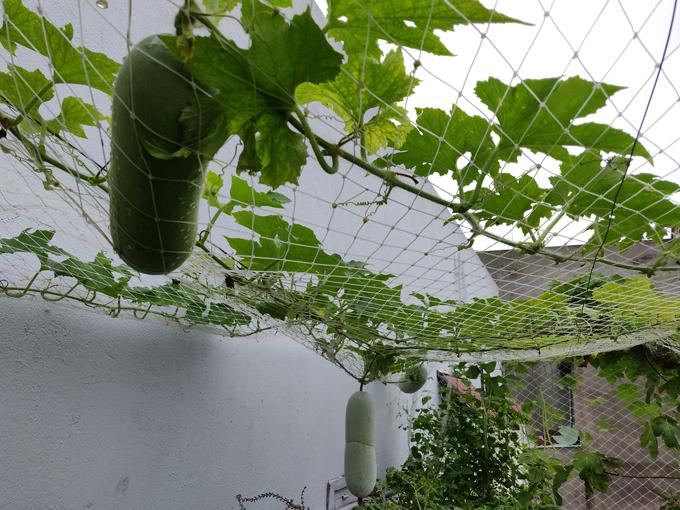 Vườn thứ hai của căn nhà nằm ở sân thượng tầng 2. Nơi đây được anh Dương làm nhà màng để trồng các cây ăn trái như nho, sung Mỹ, táo Thái, mận, dưa lưới.