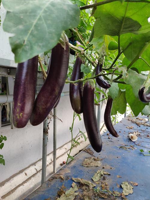 Các loại cây trái luôn sai trĩu trong vườn nhà. Từ ngày có hệ thống aquaponic, gia đình anh Dương không phải ra chợ mua rau ăn trong hơn3 năm.