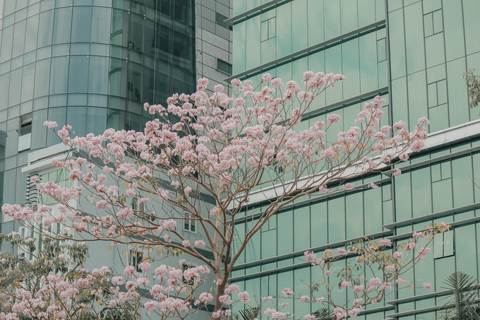 Ba điểm chụp ảnh hoa kèn hồng đẹp ở Sài Gòn