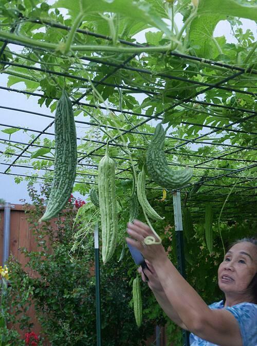 Mẹ của Sally Nguyễn thu hoạch mướp đắng trong vườn nhà.