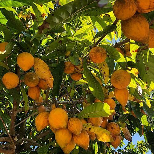 Những trái lê ki ma có thể khá xa lạ với người Mỹ nhưng không bao giờ thiếu trong vườn nhà chị Tiên.