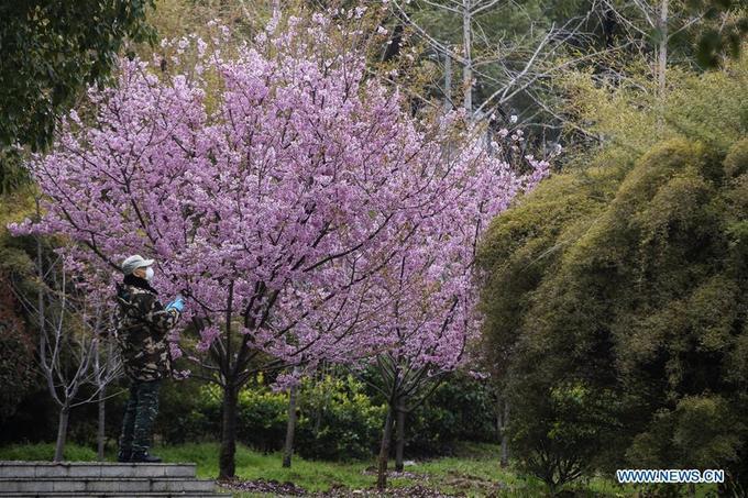 Hoa anh đào thắp sáng Vũ Hán giữa Covid-19