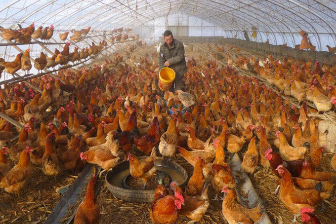 Một trang trại chăn nuôi già ở An Huy còn tồn hàng nghìn con gà chưa thể xuất chuồng. Ảnh: NYT.