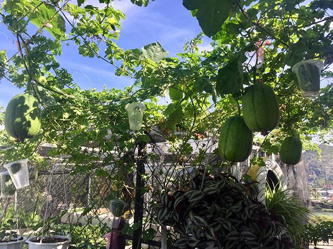 Các loại quả luôn lúc lỉu, trĩu cành trong khu vườn sân thượng của anh Phong. Để trừ sâu bệnh, anh dùng tới dầu neem có nguồn gốc từ Ấn Độ, không gây rại cho rau, hoa. Cứ 15 ngày, anh sẽ phun dầu toàn bộ vườn.