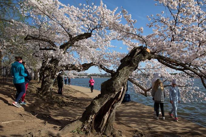 Bất chấp khuyến cáo, nhiều người dân vẫn ra đường ngắm hoa và không đeo khẩu trang.