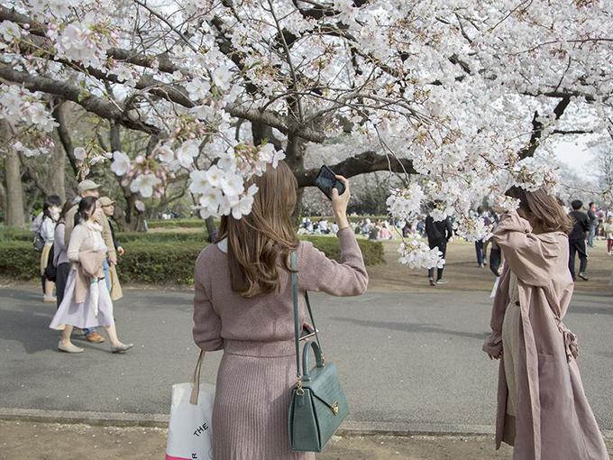 Khách du lịch tạo dáng chụp ảnh với những cây anh đào đang nở rộ tại vườn quốc gia Shinjuku Gyoen ở Tokyo. Khung cảnh nơi đây được cho là vắng vẻ hơn những năm trước.