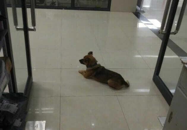 Con chó kiên trì nằm giữa sàn bệnh viện chờ chủ nhân. Ảnh: WOB.
