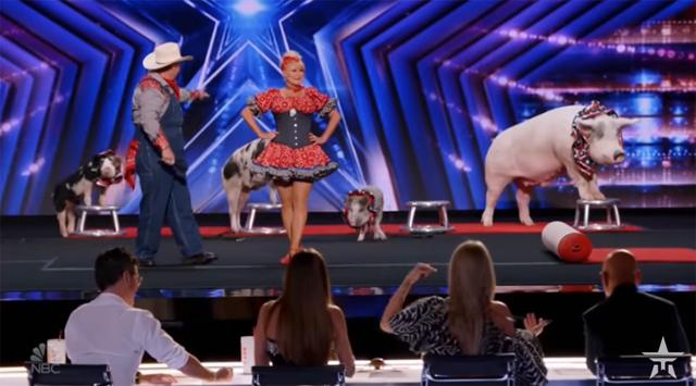 Đàn lợn diễn xiếc trước bốn vị giám khảo và hàng nghìn khán giả.