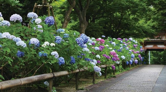 Đền Kyuaniji là một trong những nơi ngắm hoa cẩm tú cầu nổi tiếng ở Osaka. Cứ đến tháng 6 hàng năm, rất đông người tới đây dạo chơi. Hoa mọc khắp khuôn viên đền đủ màu sắc