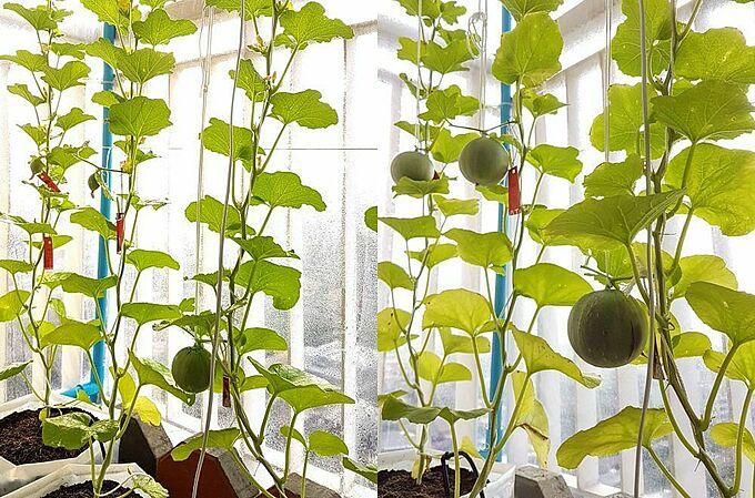 Sau khi đậu quả, chỉ chọn những quả tốt nhất và sử dụng dây đỡ khi quả lớn hơn. Lúc này, bạn cũng nên cắt bỏ chồi để cây ngừng phát triển, tập trung dinh dưỡng nuôi quả và chỉ giữ lại 20-23 lá. Thời gian thu hoạch của dưa lê là khoảng 90-100 ngày sau khi trồng, tuy nhiên trước khi thu hoạch khoảng 2 tuần, bạn cần giảm lượng nước tưới để tăng độ ngọt cho quả.