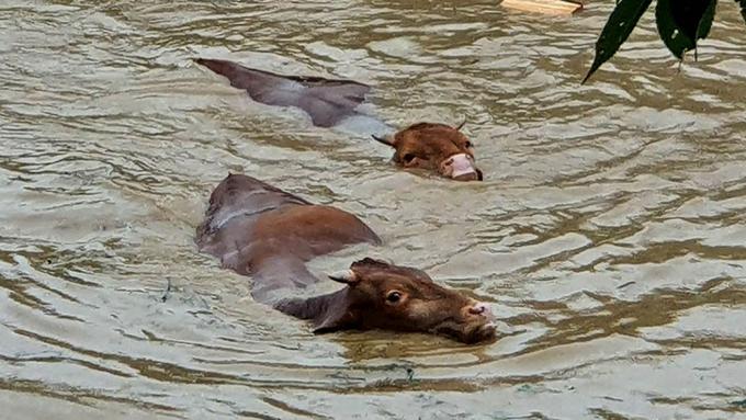 Những con bò vật lộn bơi giữa dòng nước lũ ở Gurye, tỉnh Jeolla Nam. Ảnh: Sky News.