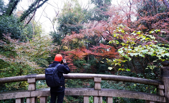 Du khách săn lá đỏ quanh đền Meiji Jingu (Tokyo) đầu thu. Ảnh Vi Yến