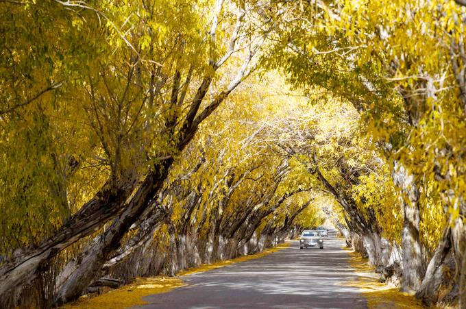Đặc trưng của mùa thu ở Tân Cương không phải là cây phong hay bạch quả (ngân hạnh) như nhiều nơi mà là cây hồ dương - một loại cây đặc biệt thường chỉ có ở các hoang mạc, thảo nguyên khô cằn Tây Bắc Trung Quốc.