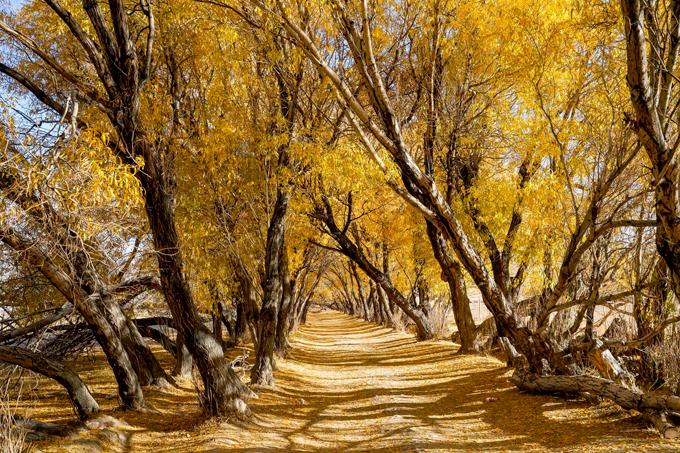 Một số con đường không rải nhựa để xe cộ qua lại mà chỉ dành cho người đi bộ. Dân địa phương và khách du lịch ví von nơi này giống như xứ sở cổ tích. Một màu vàng rực rỡ phủ từ trên những tán cây đến thảm lá rụng phía dưới. Khi nắng lên, bóng cành cây in xuống con đường càng làm khung cảnh thêm thần tiên.
