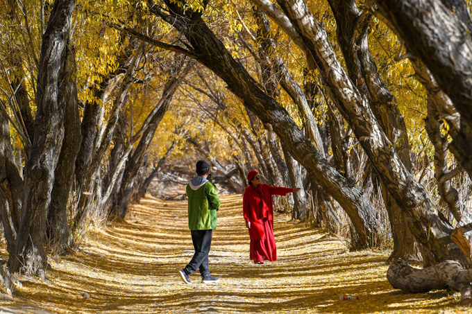 Loài cây này được trồng để chắn cát, tạo cây xanh, bảo vệ đồng ruộng và là biểu tượng của người dân tộc Duy Ngô Nhĩ trong vùng.