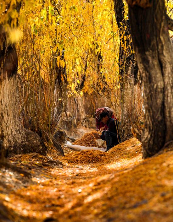 Người dân Tân Cương đang thu gom lá cây hồ dương rụng. Bộ rễ hồ dương ăn sâu tới trên 10m, trong cây dự trữ rất nhiều nước đề phòng khô hạn.