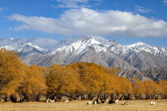 Cuối tháng 10, mùa thu đã nhuộm vàng các quốc gia Đông Bắc Á. Các tỉnh phía Bắc Trung Quốc cũng bước vào thời điểm chính giữa mùa thu khi những cánh rừng đều đồng loạt thay lá, ngả sắc vàng rực rỡ, quyến rũ. Trong đó, Tân Cương là điểm đến nổi tiếng, không thể bỏ qua. Đến với khu tự trị này vào mùa thu, du khách sẽ được chiêm ngưỡng khung cảnh bình yên của những đàn ngựa, bò tha thẩn ăn cỏ, xa xa là những rặng cây vàng ươm.