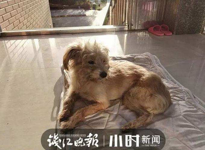 Dou Dou xác xơ sau 26 ngày lang thang tìm đường về nhà sau khi bị chủ bỏ quên ở trạm xăng cách thành phố Hàng Châu khoảng 60 km. Ảnh: Qiangjang Evening News.
