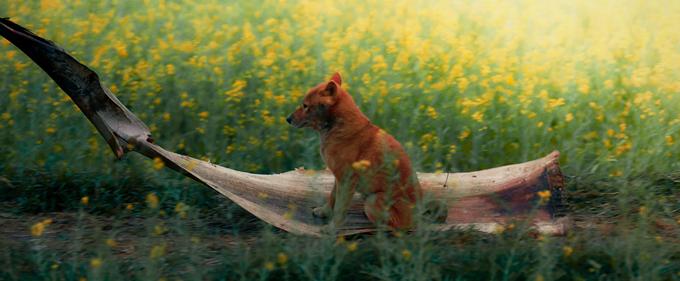 Cậu Vàng thích thú khi được chủ kéo đi giữa cánh đồng hoa cải vàng bằng mo cau.