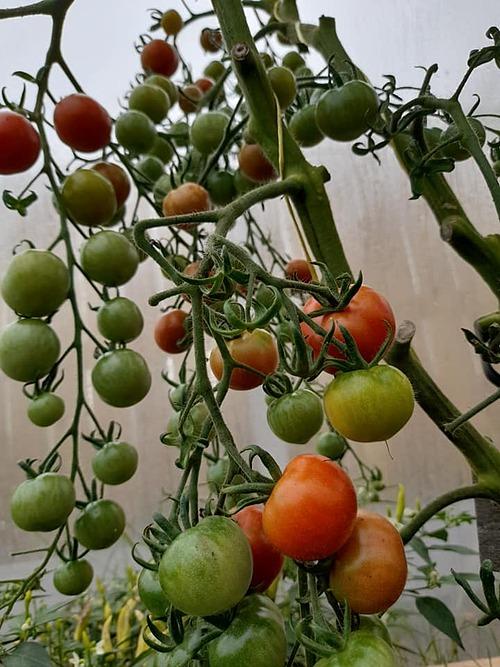 Cà chua cherry cho năng suất cao nhưng phát triển chậm hơn khi mùa đông đến. Chloe lưu ý mọi người cần tỉa lá cho cây đúng thời điểm để tập trung dinh dưỡng nuôi quả.