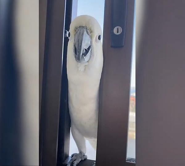 Con vẹt đuôi dài trò chuyện với chủ nhà ở Sydney, Australia trước khi định vào trong trộm hạt. Ảnh cắt từ video.