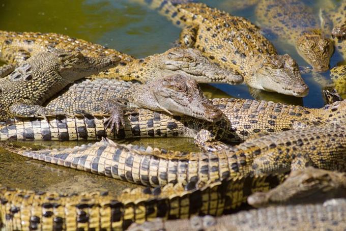 Da cá sấu là nguyên liệu chính để Hermès làm túi xách. Ảnh: AP.